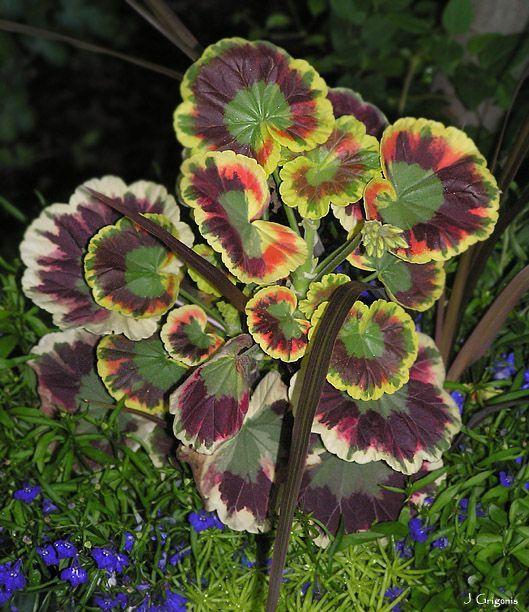 Variegated geranium: care tips https://www.houseplant411.com/houseplant/how-to-grow-geranium-plant-care
