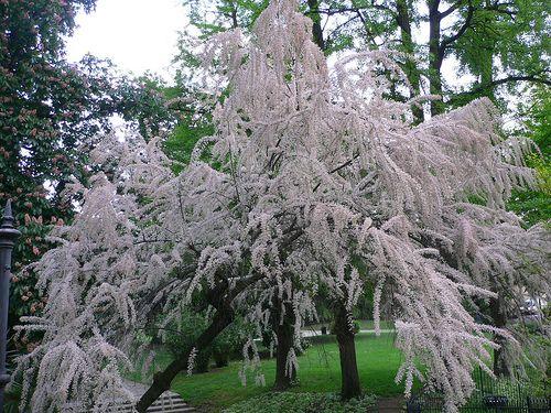 214 best White trees 1 images on Pinterest   Diy landscaping ideas ...