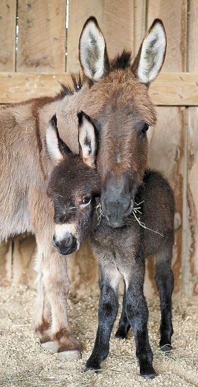 .Baby donkey and his mama.