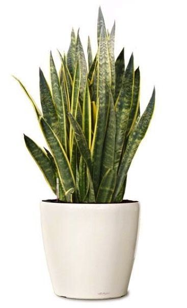Sansevieria laurentii. Supposed to filter air. Perfect for every room!