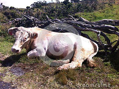 Ox Bull Cow Resting Portugal - Azores - (C) Celia Ascenso 2016