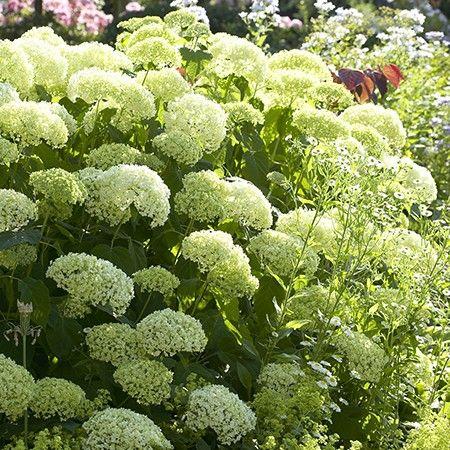 Hortensia 'Annabelle' - Plantes et Jardins