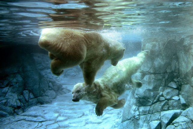 Sea World Gold Coast, Australia, the polar bears are so cute doing laps in there pool :)