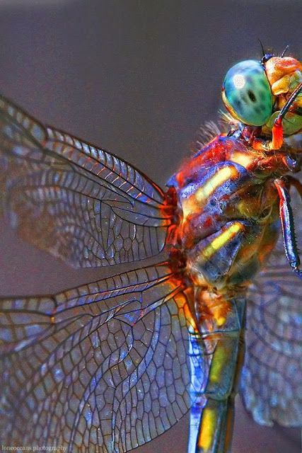 Dragonfly. I'm getting prepared to do some pen and ink of dragonflies. I love the detail of the wings in this photo.