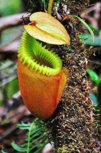 Nepenthes villosa, plante carnivore qui pousse en haute altitude, en Malaisie