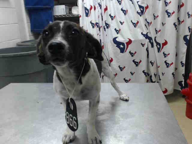 8/31*💛💚💙💜This DOG - ID#A466920 - URGENT - Harris County Animal Shelter in…