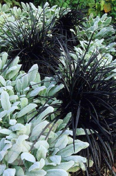 Ophiopogon planiscapus 'Nigrescens' - This small, easy to grow, clump-forming evergreen perennial has strappy, inky purple, grass-like leaves. In summer, small spikes of bell-shaped, pale mauve flowers appear, followed by spherical, dark blue fruit. This unusual plant looks fantastic with other grasses, especially if grouped in tubs or planted into gravel, and it provides a brilliant contrast with silvery plants in sun, or bright green ferns in shade.