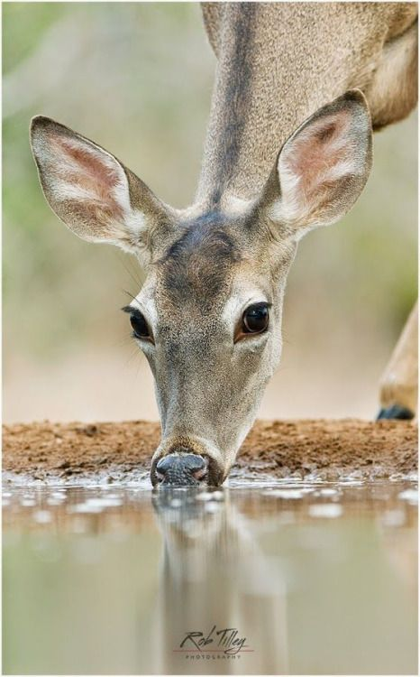 As the deer panteth for the water....