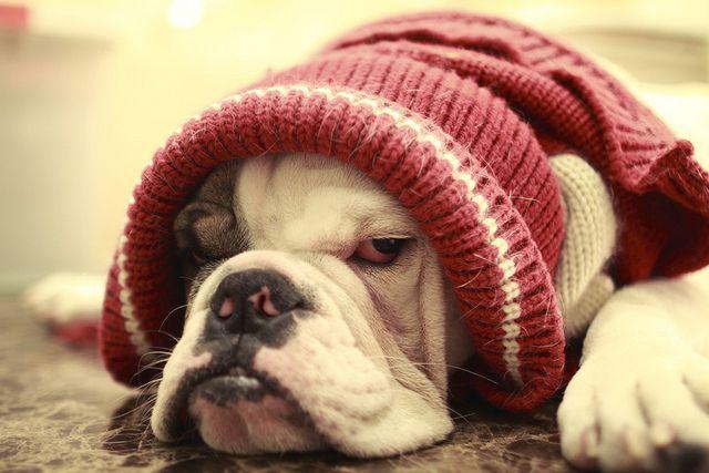 #english #Bulldog <3