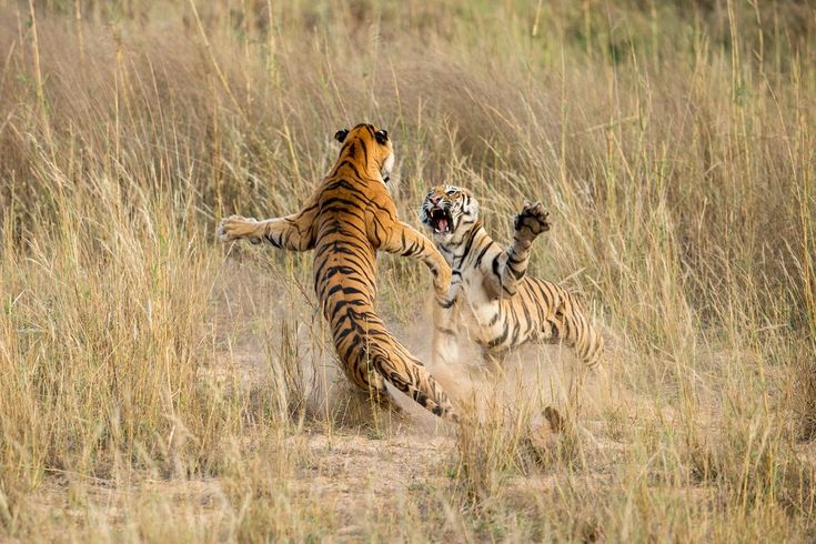 These two sub-adult tiger cubs, aged around 21 months, are engaged in a mock fight, a part of their learning process to acquire stalking and self-defense skills. Taking advantage of the fact that a sibling's attention was diverted for a moment, the other charged her and what was witnessed was a sheer moment of awe when these beautiful and magnificent animals were standing upright just for a moment and you could see the rippling muscles and the power that these biggest cats hold.