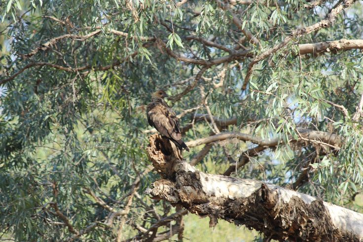 Whistling Kite Perched up high