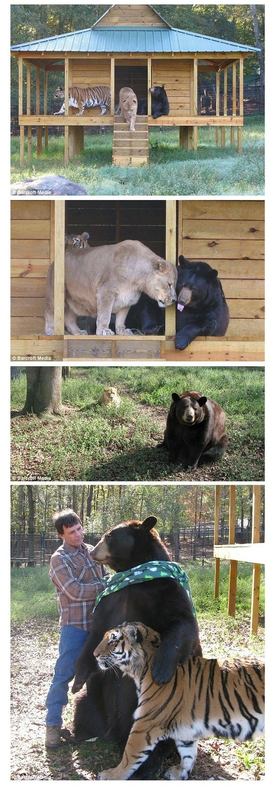 unlikely friendships BLT (bear lion tiger) at Noah's ark a place many animals call home.