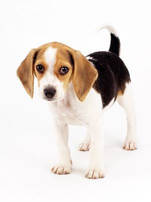 Benny dogs ... Miss mine :): Puppy Dogs Training, Puppydog Training, Pets, Food Dishes, Beagles, Puppys, Simple Training, Training Dogs, House Training Puppies
