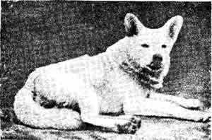 Белый волк (Лондонский зоологический сад).Ливеровский Ю. Происхождение лайки и ее разновидностей.