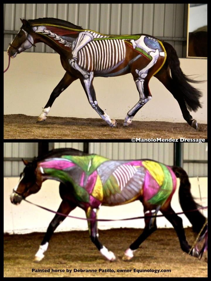 Great equine anatomy in motion illustration