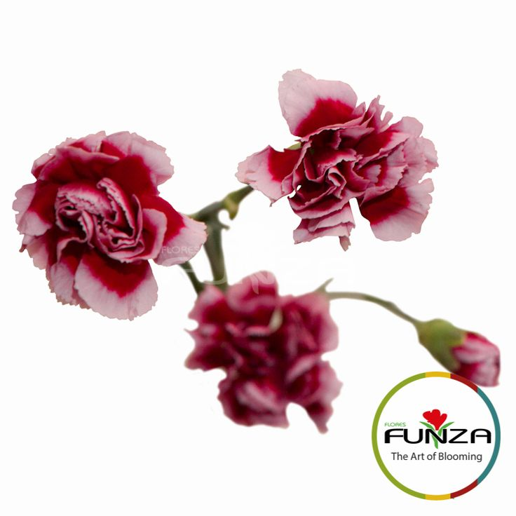 Bicolor Purple Spray Carnation from Flores Funza. Variety: Tango. Availability: Year-round.