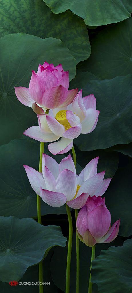 Hermoso flor de loto