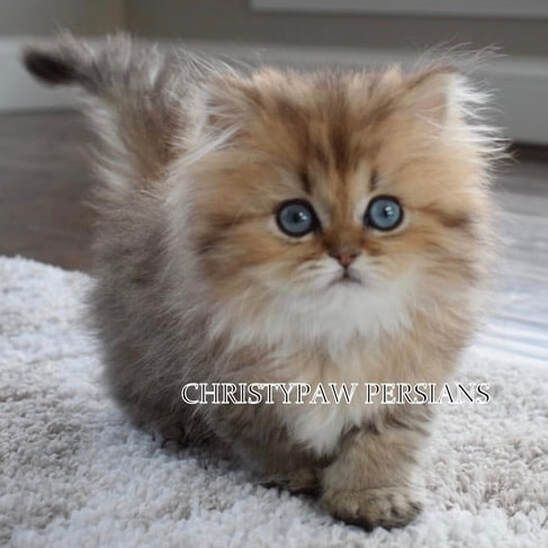 Silver Doll Face Persian Kittens For Sale In Missouri Christypaw Persians Kittens Persian Kittens For Sale Persian Kittens