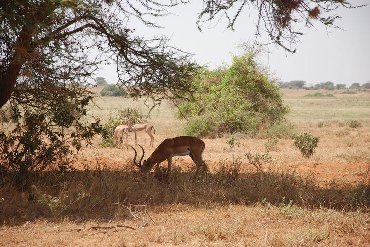 Impala,Kenya