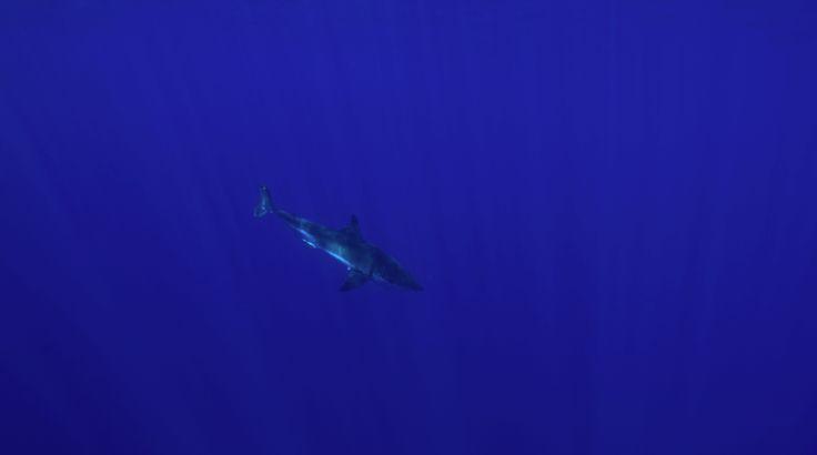 Hábitat del gran tiburón blanco  Inicia el lunes 11 de noviembre en los programas de Noticieros Televisa  http://noticierostelevisa.esmas.com/por-el-planeta/