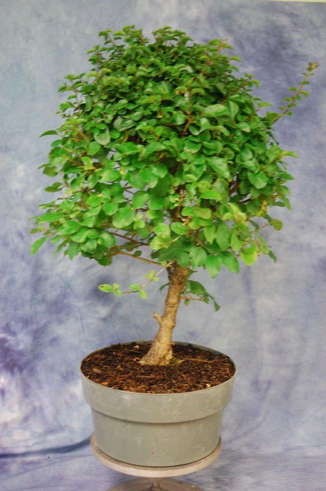 Chinese Ligustrum pre Bonsai Tree. Cold Hardy tree .