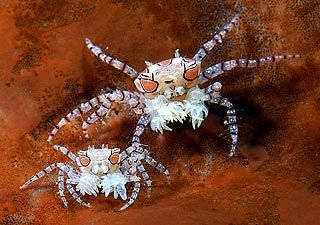 Pom Pom Crabs. These crabs live on hard coral and defend themselves by carrying small anemones in their claws.