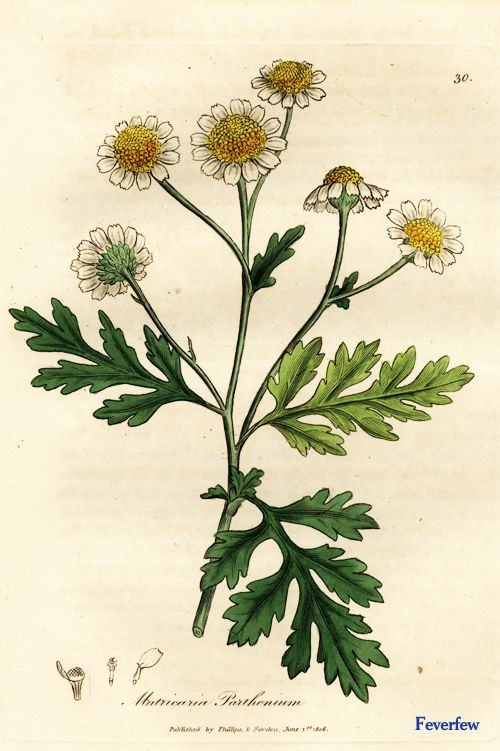 Feverfew A tea made from the whole plant is used in the treatment of arthritis, colds, fevers etc. It is said to be sedative and to regulate menses. An infusion is used to bathe swollen feet. Applied externally as a tincture, the plant is used in the treatment of bruises. Chewing 1-4 leaves a day has proven to be effective in the treatment of some migraine headaches.