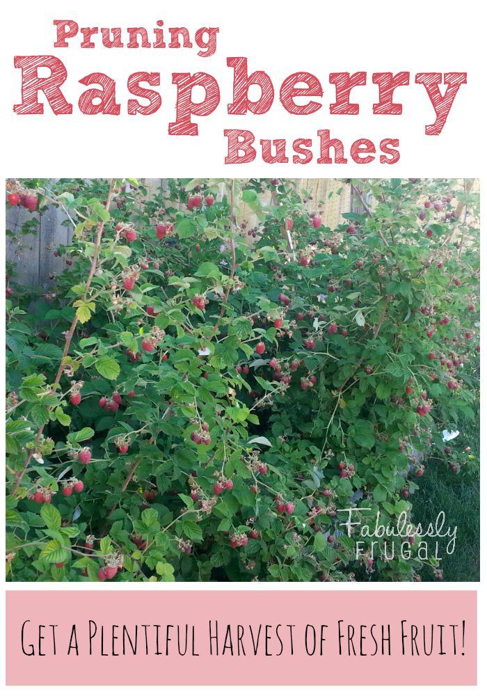 Garden Tips: Pruning Raspberries
