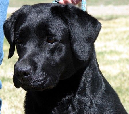 Labradors! Labradors!  Looks so much like my Emma!