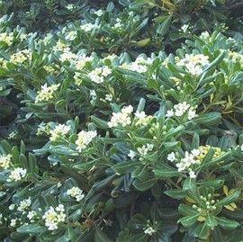 Les 20 meilleures id es de la cat gorie arbuste feuillage persistant sur pint - Arbre ornemental feuillage persistant ...