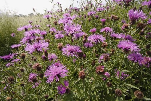 Centaurea nigra native plant – hard head knapweed - Google Search