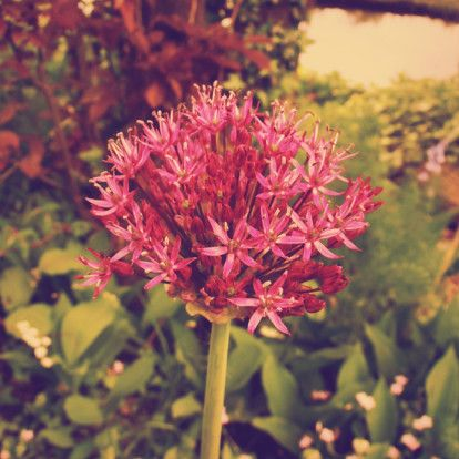 Allium in instagram tinten.