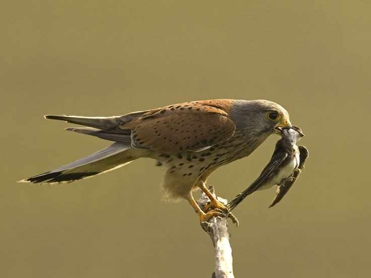 Male Kestrel with Sand Martin by Robert Bannister