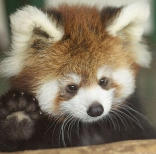 Baby red panda   to cute to handle :)   Pinterest