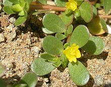 Purslane, also known as Verdolaga, Pigweed, Little Hogweed, or Pusley.... healthy herb to find growing wild or grow in the garden