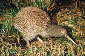 NIEUW-ZEELAND kiwi vogel kan niet vliegen maar snel lopen kan rake klappen uitdelen met zijn poten en graven Neusgaten aan het einde van zijn bek om beter insecten te vinden