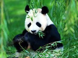 A los osos panda les encanta el bambú. Pueden comer kilos y kilos de esta planta sin apenas inmutarse, pero no es la única integrante de su dieta. Estos simpáticos animales son en realidad omnívoros, por lo que pueden alimentarse también de otros vegetales, huevos o pequeños animales, sobre todo aves y roedores.