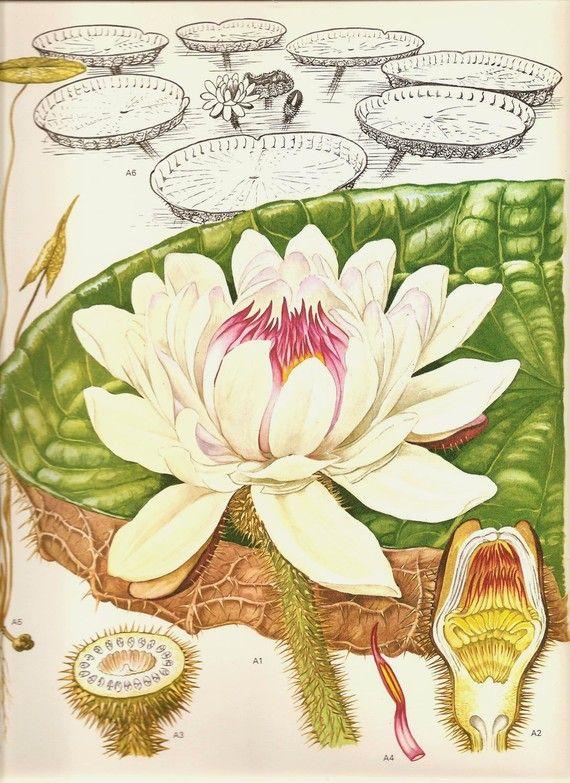 Vintage 1970 Color lámina flores silvestres libro Original placa 170 hermosa grande real agua lirio blanco con carta de pétalo de semillas de hoja verde