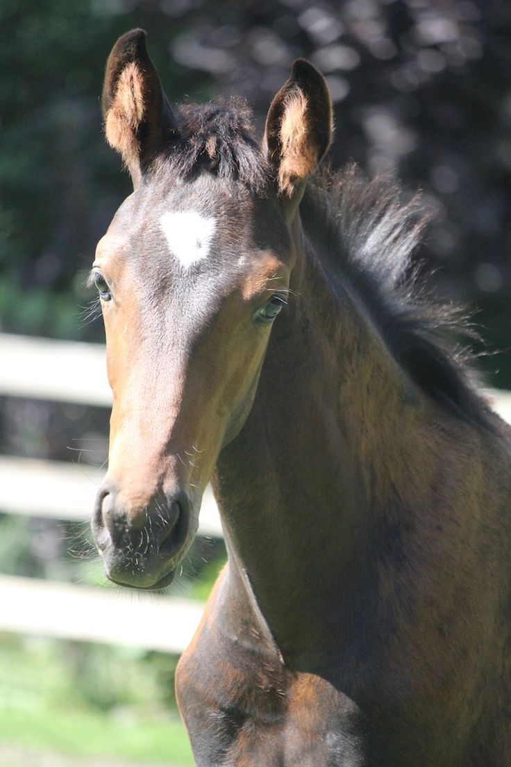 Dreamchaser DMV | 2017 Hanoverian Filly by Dreammaster DMV.    Find your dream horse at www.dreamcatchermeadows.com    #equestrian