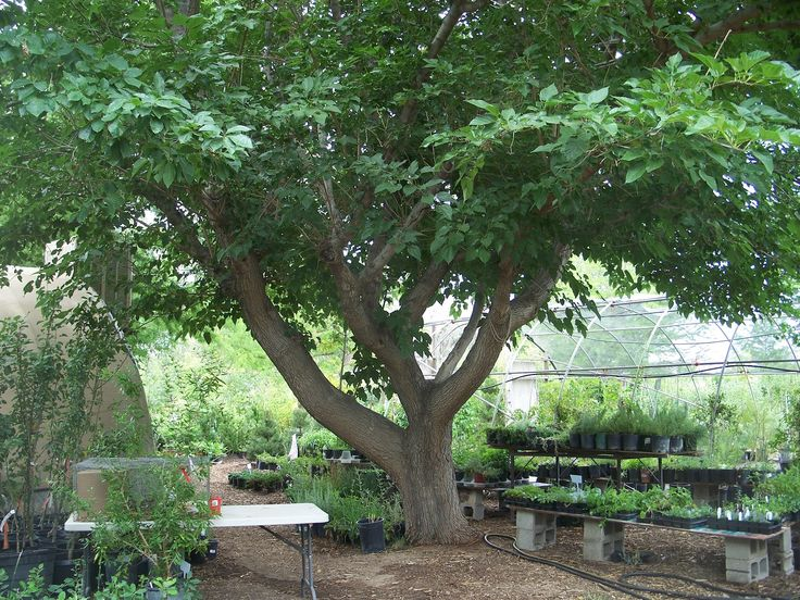 Mulberry Trees Good Climbing Great Eating The White