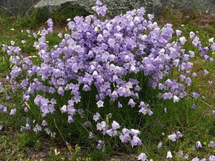 Liten blåklocka, Campanula rotundifolia - Blomväxter - NatureGate