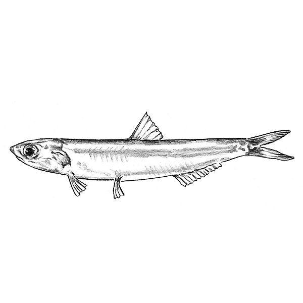 """""""Erzähl Leuten, die dich kennen, kein Anglerlatein und schon gar nicht Leuten, die die Fische kennen"""", schrieb Mark Twain. - Plakat Meeresfische"""