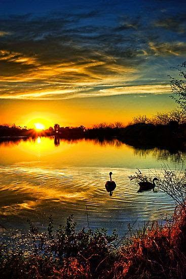Gorgeous Sunset and Swans