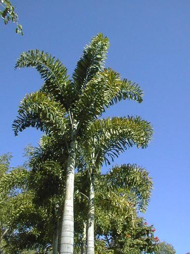 Good Wodyetia bifurcata Foxtail Palm native to Queensland Australia grows to m Garten PflanzenHinterhof IdeenLandschaftsbau
