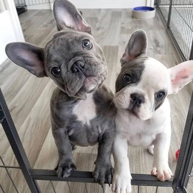 Good Morning French Bulldog Puppies Cute Baby Animals Puppies