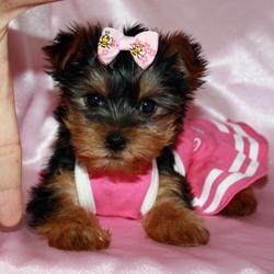 Teacup Yorkshire terrier Puppie! <3