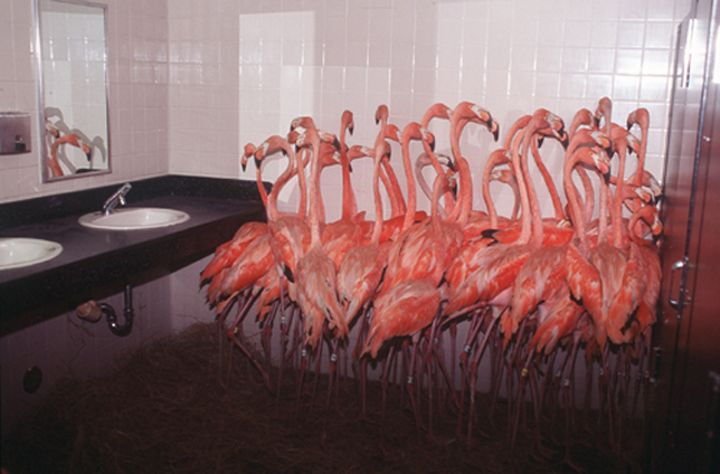 As mentioned in my story Flamingos, yes, this really happened.They really did stuff all the poor little Flamingos in the men's bathroom at the zoo to keep them from getting swept away by hurricane Andrew.