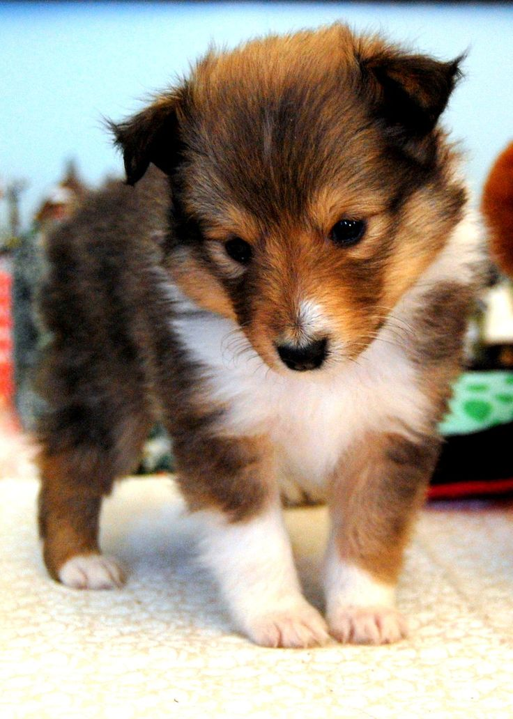 Sheltie puppy. They are such sweet dogs