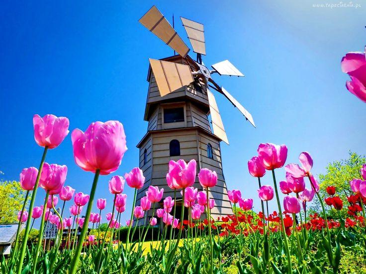 Łąka, Różowe, Tulipany, Wiatrak