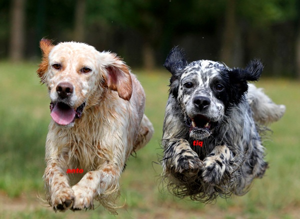 """essay english setter The english setter dog breed was named for its practice of """"setting,"""" or crouching  low, when it found birds so the hunter could throw his net over them after the."""